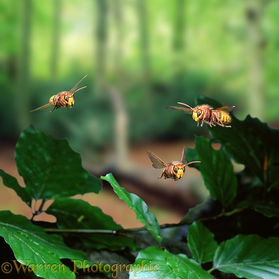 Hornet (Vespa crabro) workers in flight, approaching the nest