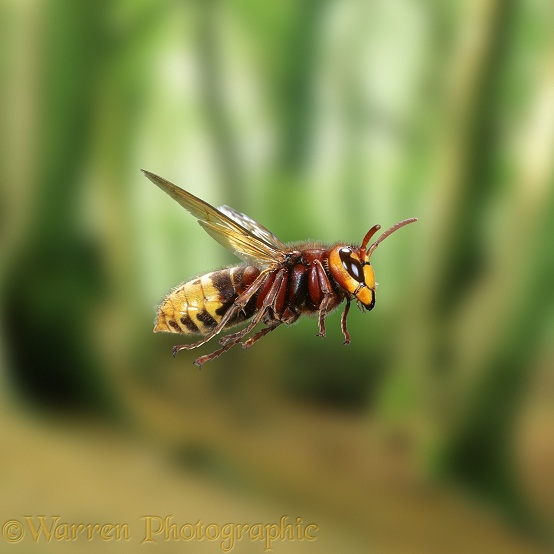 Hornet (Vespa crabro) worker in flight