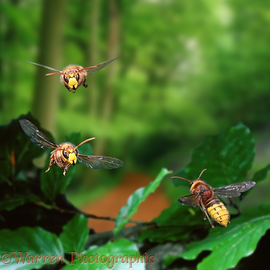 Hornet (Vespa crabro) workers in flight, approaching and leaving the nest.  Europe