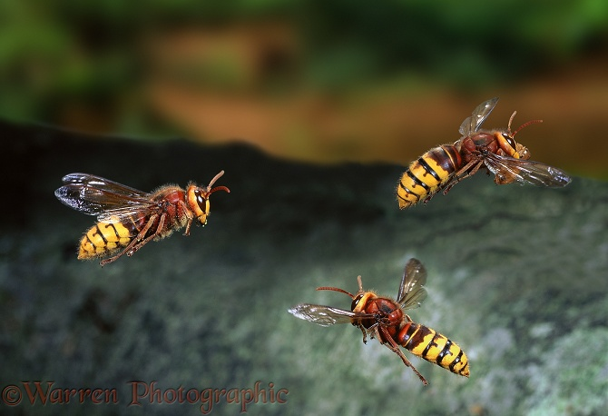 Hornet (Vespa crabro) workers in flight, approaching and leaving the nest