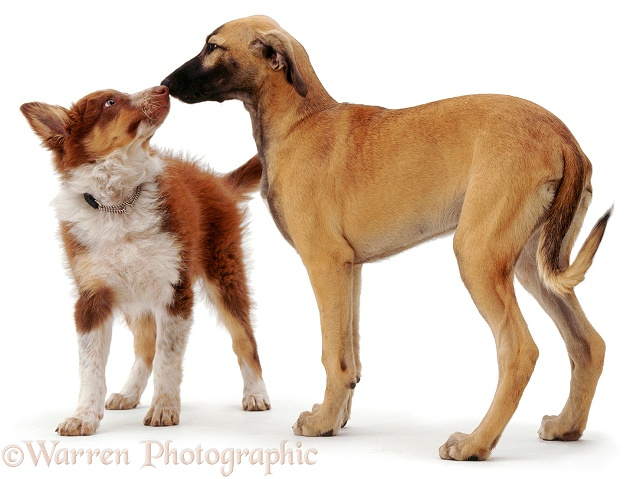 Red tricolour Border Collie dog pup Chester, sniffing noses with blue brindle Saluki Lurcher Tansy when they meet, white background