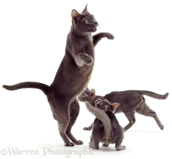 Korat mother cat, Kami, with her two kittens watching, white background