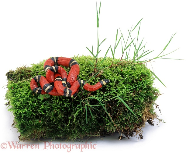 Milk Snake (Lampropeltis triangulum) on mossy log.  North America, white background