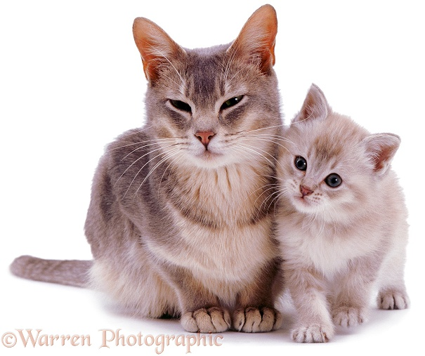 Burmese mother cat, Bella, with her lilac kitten, white background