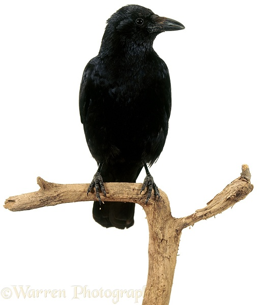 Crow (Corvus corone), white background