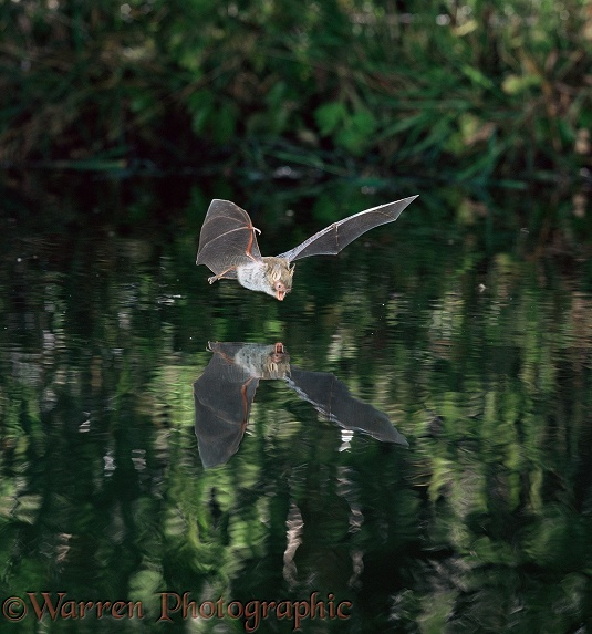 Natterer's Bat (Myotis nattereri) flying over and drinking from a woodland pool