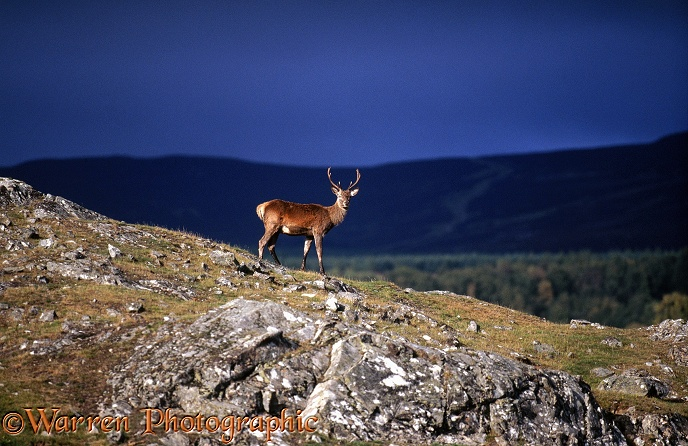 Red Deer (Cervus elaphus) young stag.  Scotland