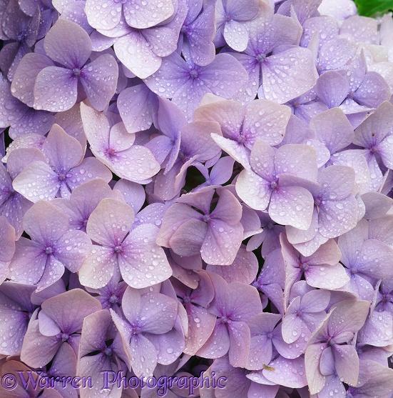Lilac hydrangea flowers photo WP03256
