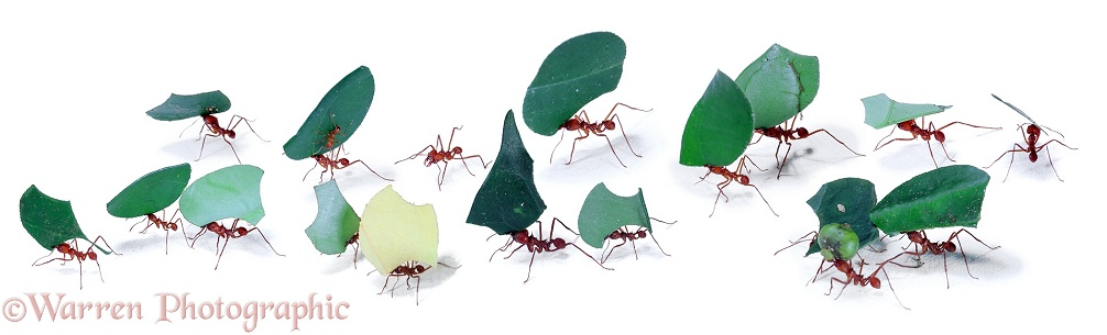 Leaf-cutting ants or Bachacs (Atta cephalotes) carrying leaf sections back to the nest.  Trinidad, South America
