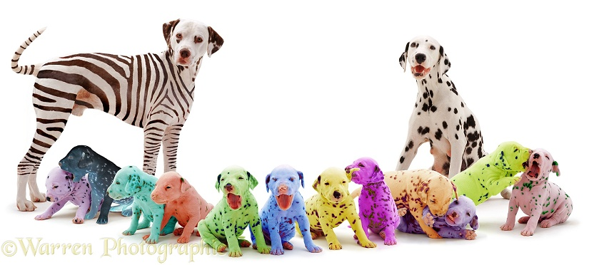 Colourful Dalmatian family, white background