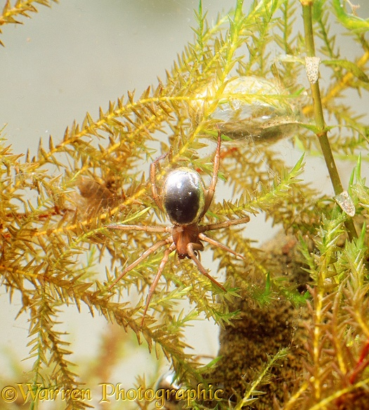 Water Spider (Argyroneta aquatica) and underwater bell.  Europe