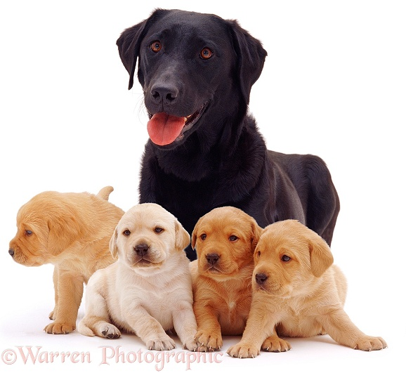Black Labrador, Poppy, and her yellow puppies, 3 weeks old, white background