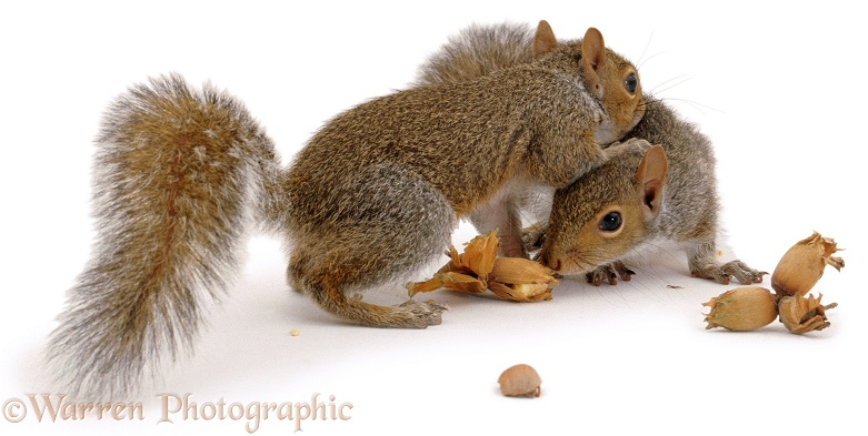 Pair of Grey Squirrels (Sciurus carolinensis), white background