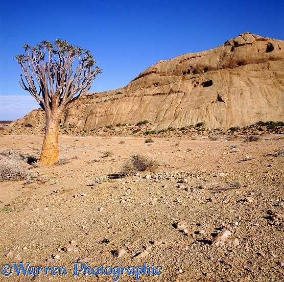 Namib Desert with Quiver Tree.  Africa