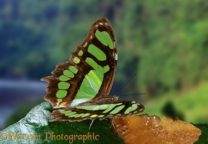 Bamboo Page Butterfly (Metamorpha stelenes).  South America