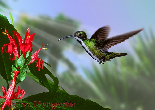 Black-throated Mango Hummingbird (Anthracothorax nigicollis) female