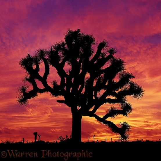 Joshua Tree (Yucca brevifolia) at sunset.  California, USA