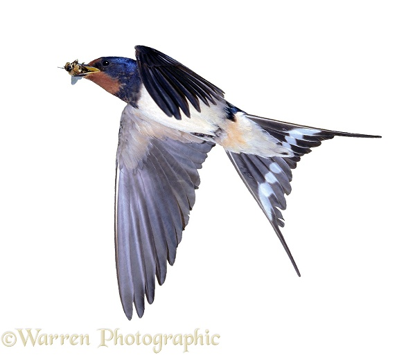 European Swallow (Hirundo rustica) with a drone bee in its beak, white background