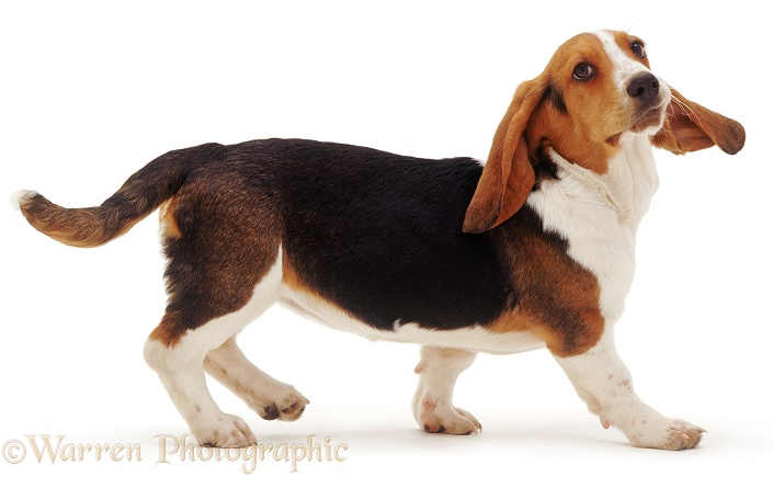 Basset Hound walking, white background