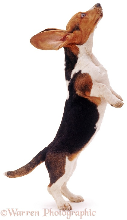 Basset pup standing on hind legs, white background