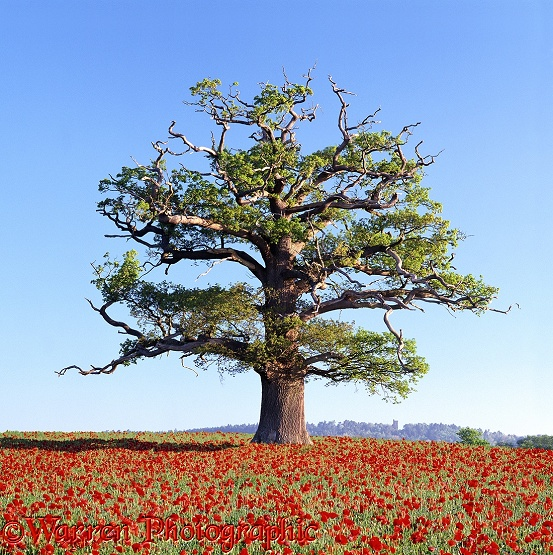 English Oak (Quercus robur) in a field of Common Poppies (Papaver rhoeas). Spring 2002.  Surrey, England