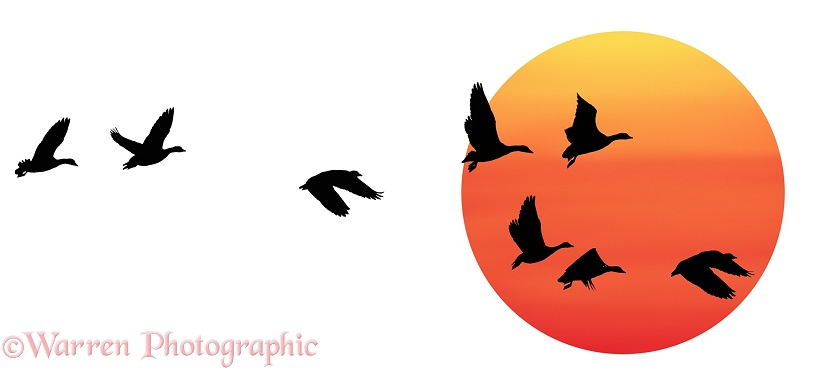 White-fronted Geese (Anser albifrons) flying past the setting sun, white background