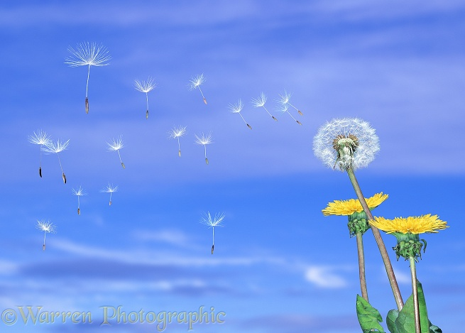 Dandelion (Taraxacum officinale) seeds blowing in the wind