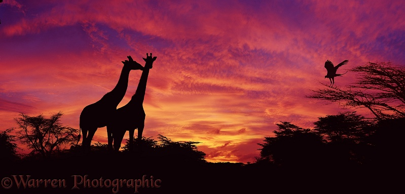 Giraffes (Giraffa camelopardalis) and Secretary Bird (Sagittarius serpentarius) at sunset.  Kenya
