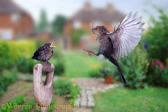 Blackbird (Turdus merula) feeding its chick in garden.  Europe