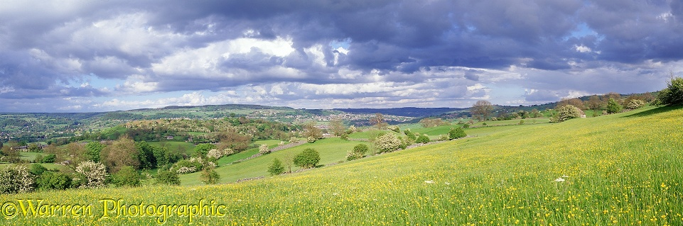 Peak District buttercup meadow.  Derbyshire, England
