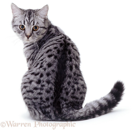 Silver-spotted British Shorthair-cross female cat, Aster, looking round over her shoulder, white background