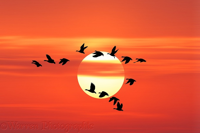 White-fronted Geese (Anser albifrons) flying past the setting sun