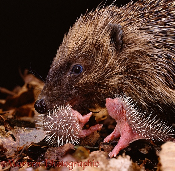 Mother Hedgehog (Erinaceus europaeus) carrying one of her very young babies to a new nest