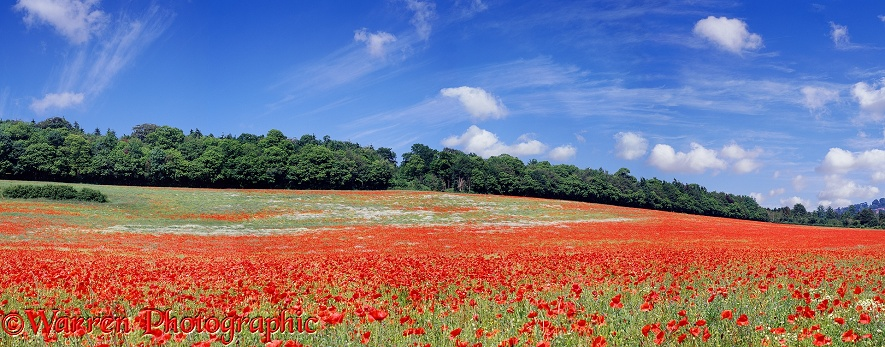 Field of Common Poppies (Papaver rhoeas).  Surrey, England