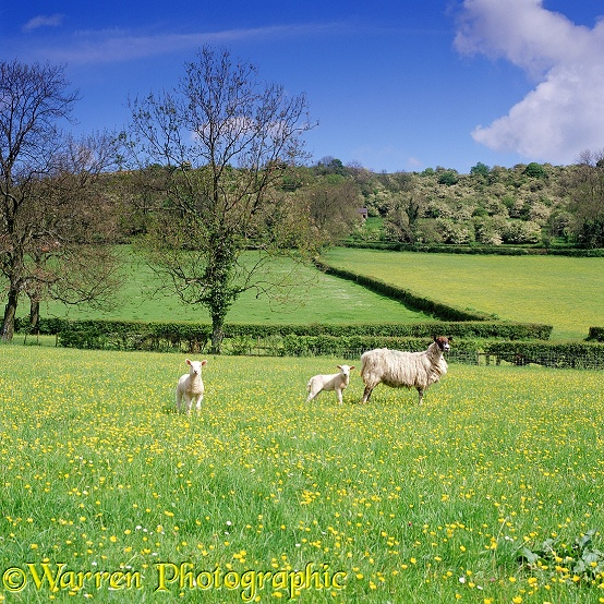 Sheep and lambs in buttercup meadow.  Derbyshire, England