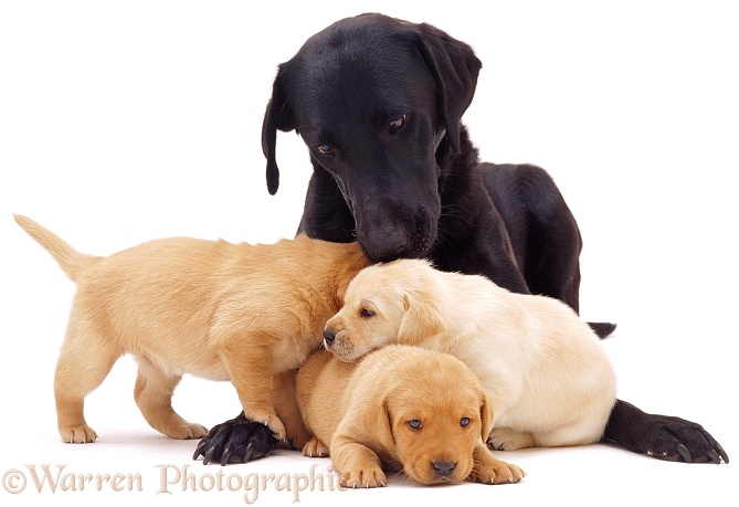 Black Labrador and puppies, white background