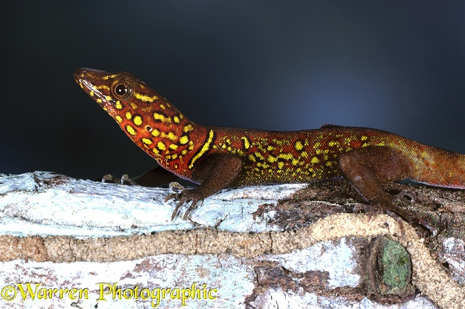 Variegated Gecko (Gonatodes ceciliae).  South America