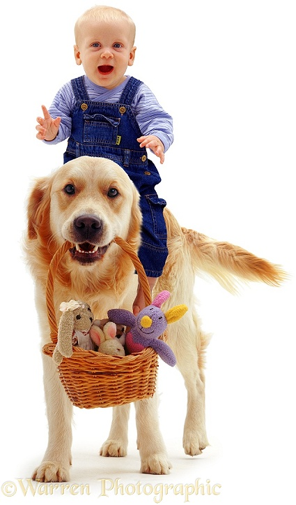 Golden Retriever, Jez, carrying 6-month-old baby Siena's toys in a basket, while she rides on his back, white background