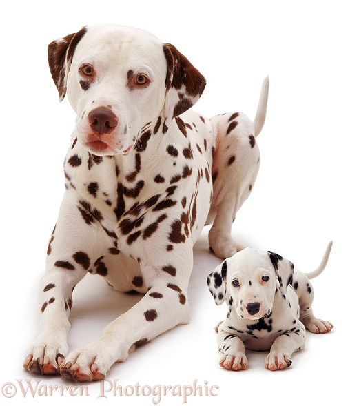 Dalmatian father and pup, white background