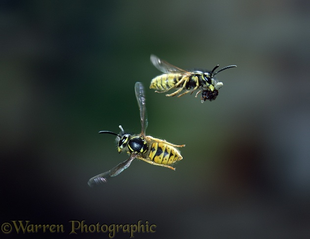 Common Wasp (Vespula vulgaris) worker banking to avoid another carrying debris from nest