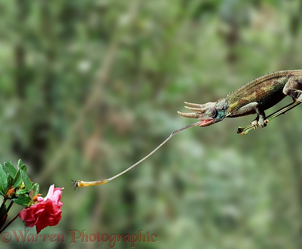 Jackson's Chameleon (Chamaeleo jacksonii) using its tongue to take a fly from a flower