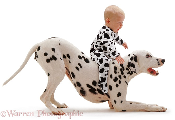 Baby Siena, 6 months old, riding a Dalmatian in play-bow, white background