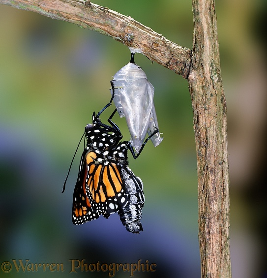 Monarch Butterfly (Danaus plexippus) hatching from its chrysalis