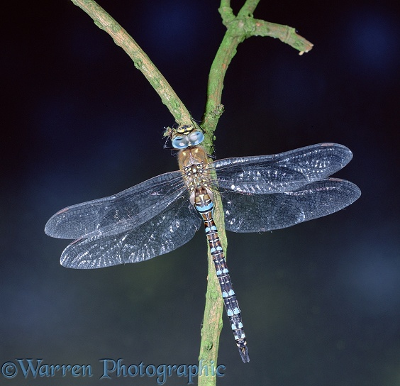 Common Hawker Dragonfly (Aeshna juncea) male