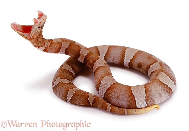 Northern Copperhead (Agkistrodon contortrix) striking.  Eastern USA, white background