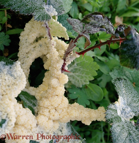 Slime mould (unidentified) on Bramble