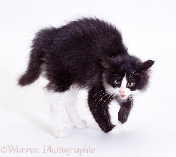 Black-and-white kitten Felix in defensive display (has seen off Pembrokeshire Welsh Corgi pup), white background