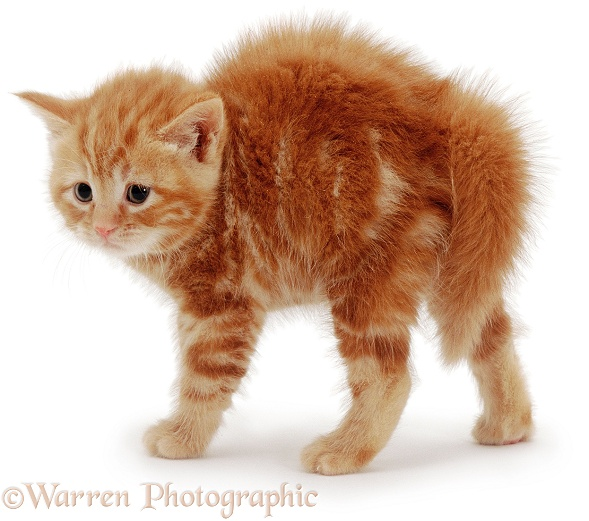 Fluffy ginger kitten with arched back, white background