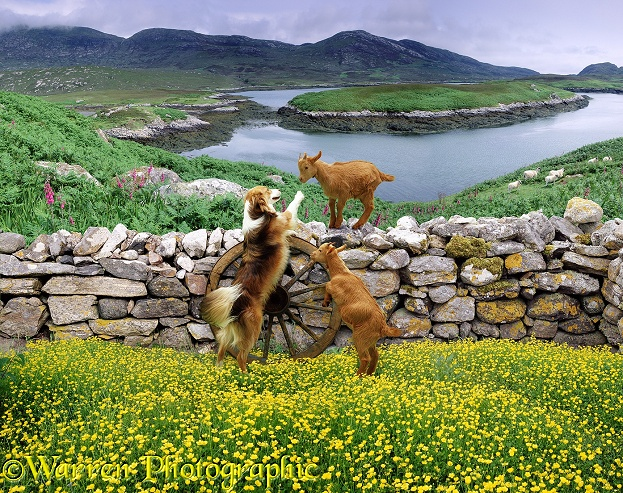 A couple of goat kids playing with a Border Collie dog by stone wall