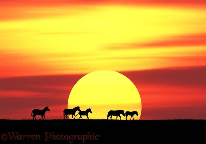 Common Zebras (Equus burchelli) at sunset.  Africa